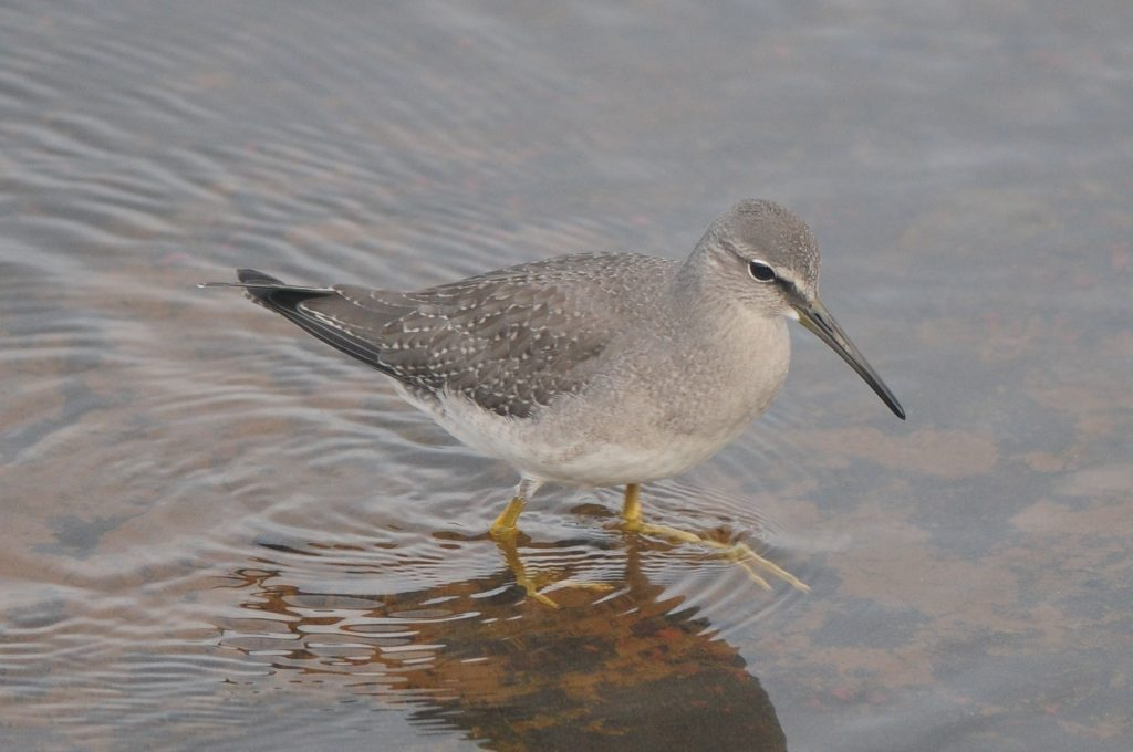 Gray tailed Tattler by Cory Gregory 1024x680 - Gray-tailed Tattler