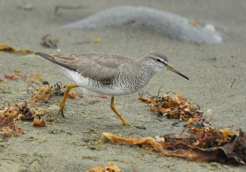 Gray tailed Tattler by Ryan P. ODonnell 1024x717 - Gray-tailed Tattler