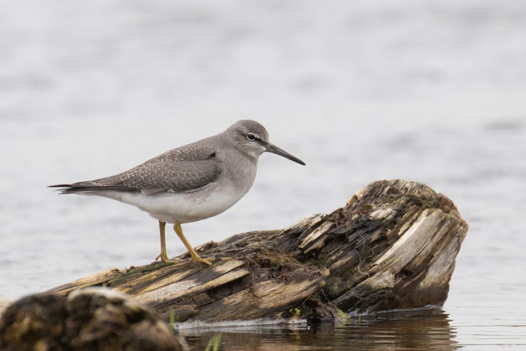 Gray tailed Tattler by Sulli Gibson 1024x683 - Gray-tailed Tattler