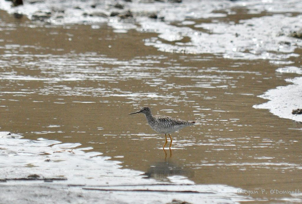 Greater Yellowlegs by Ryan P. ODonnell 1 1024x692 - Greater Yellowlegs