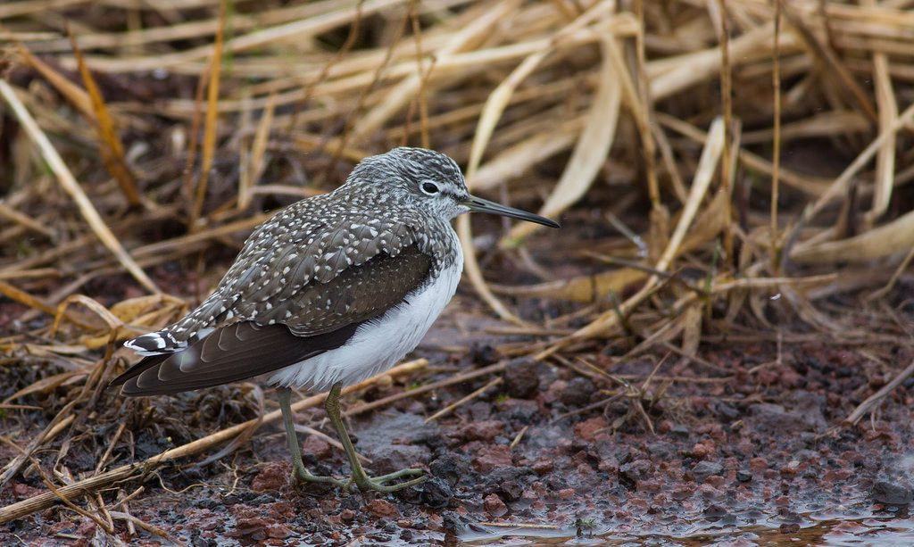 Green Sandpiper by Doug Gochfeld 2 1024x613 - Green Sandpiper