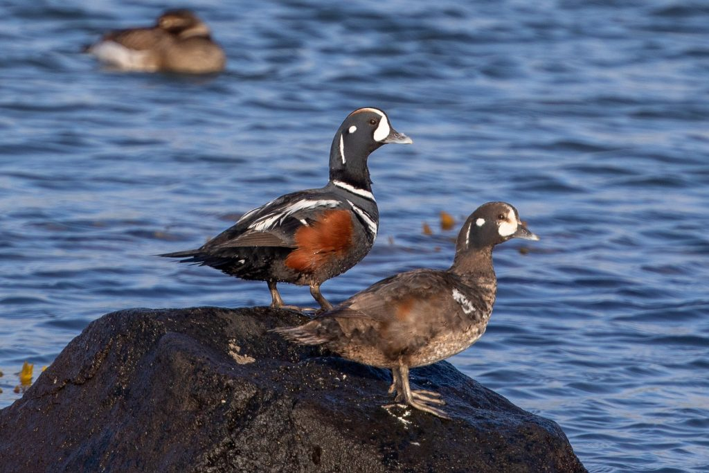 Harlequin Duck by Cory Gregory 1 1024x683 - Harlequin Duck