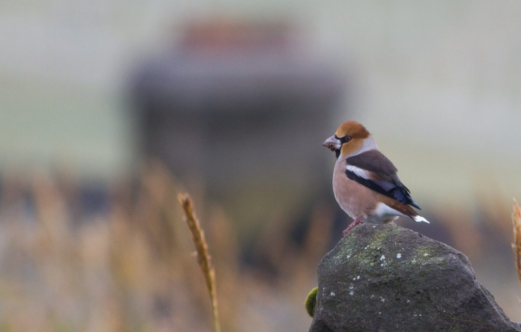 Hawfinch by Doug Gochfeld 1 1024x654 - Hawfinch