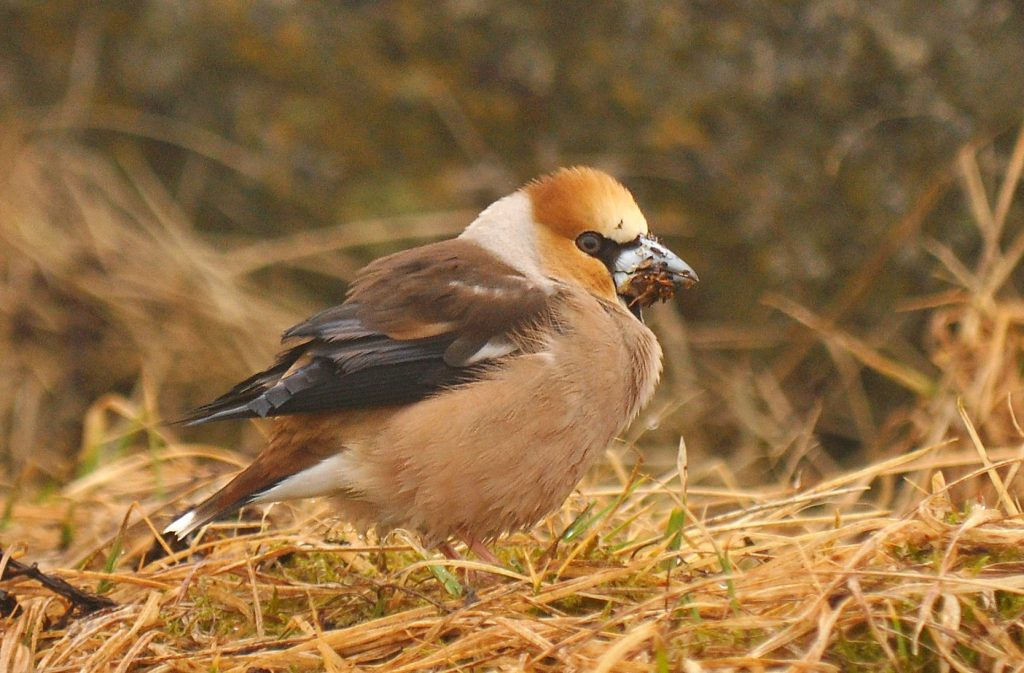 Hawfinch by Ryan P. ODonnell 1024x673 - Hawfinch