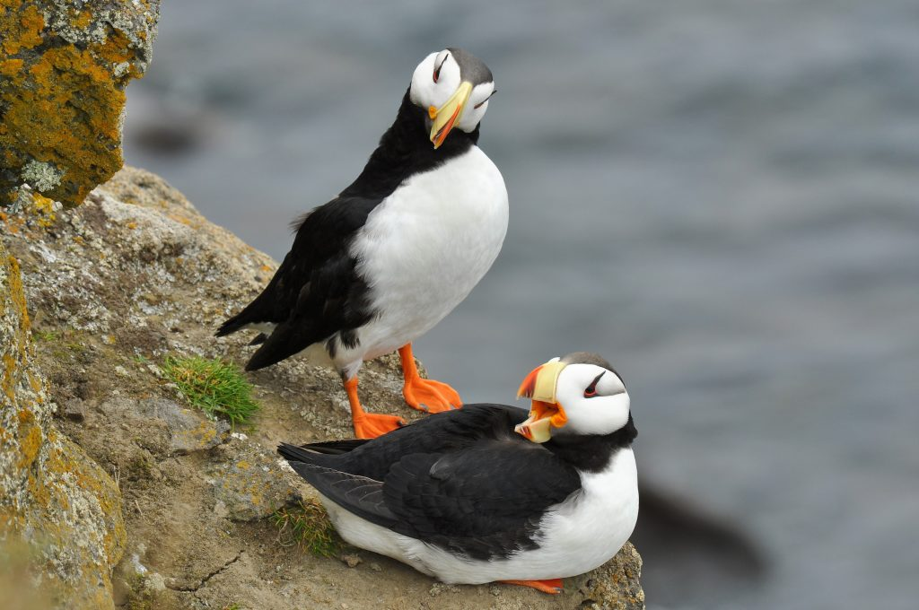 Horned Puffin by Ryan P. ODonnell 1024x680 - Horned Puffin