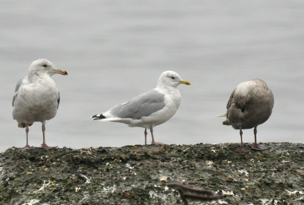 Iceland Gull 2 by Ryan P. ODonnell 1024x692 - Iceland Gull