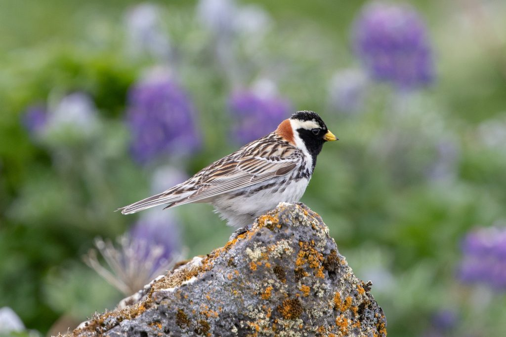 Lapland Longspur by Cory Gregory 1 1024x683 - Lapland Longspur