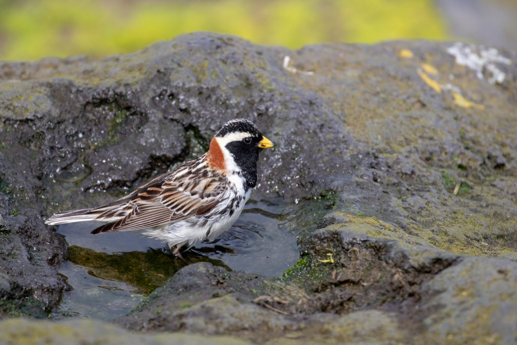 Lapland Longspur by Sulli Gibson 1024x683 - Lapland Longspur