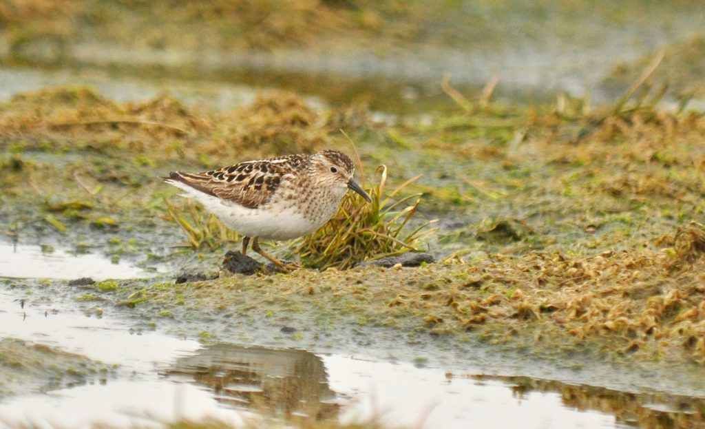Least Sandpiper 2 by Ryan P. ODonnell 1024x623 - Least Sandpiper