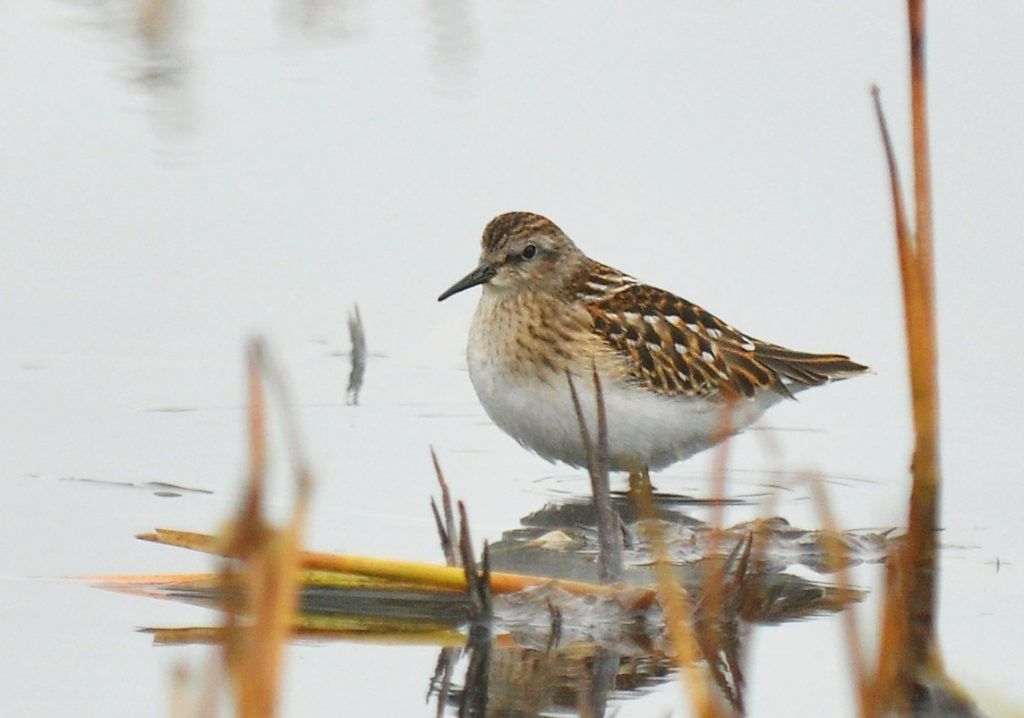 Least Sandpiper 3 by Ryan P. ODonnell 1024x718 - Least Sandpiper
