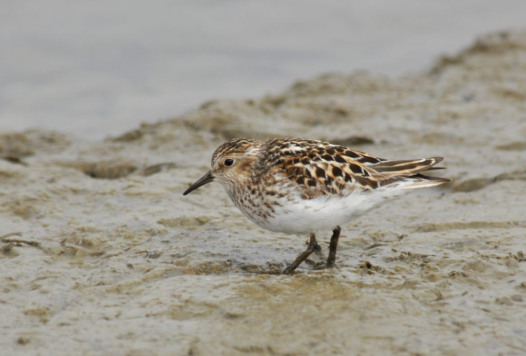 Least Sandpiper by Ryan P. ODonnell 1024x693 - Least Sandpiper