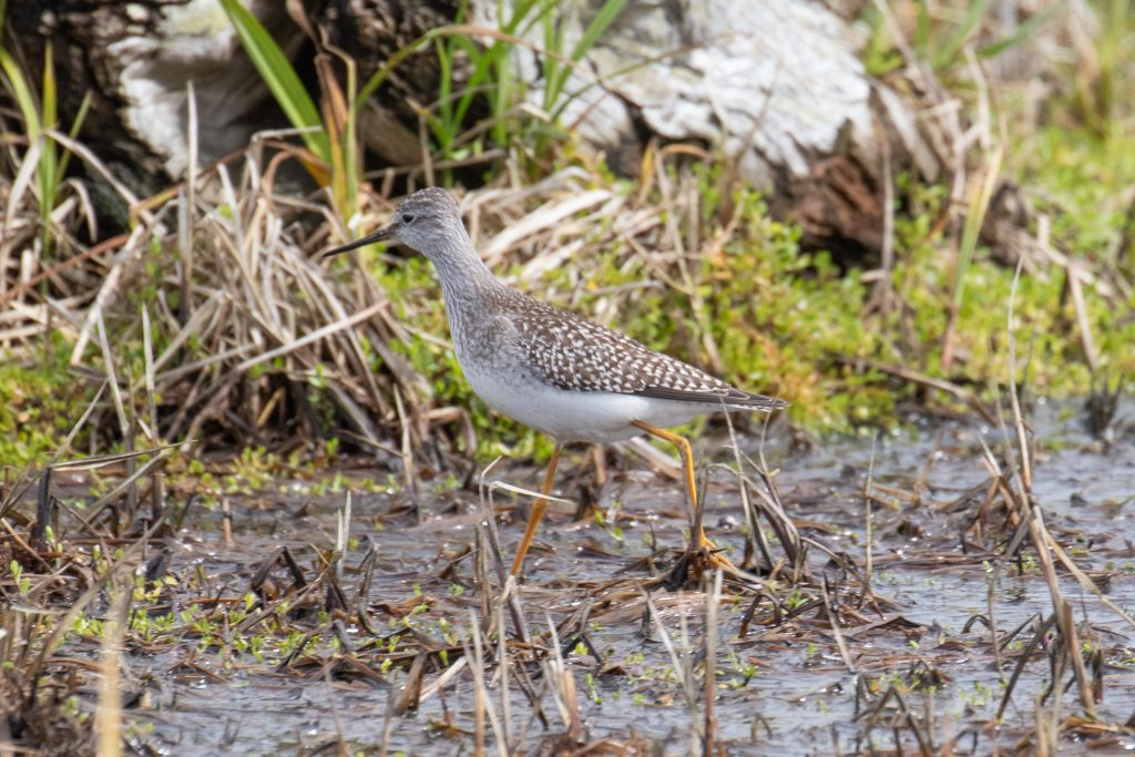 Lesser Yellowlegs by Sulli Gibson 1024x683 - Lesser Yellowlegs