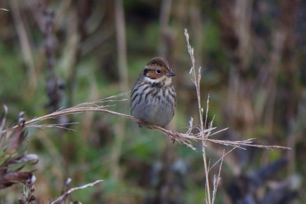 Little Bunting by Cory Gregory 1024x682 - Little Bunting