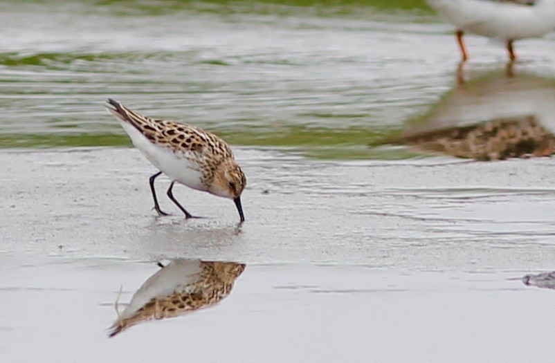 Little Stint 2 by Stephan Lorenz 2 - Little Stint