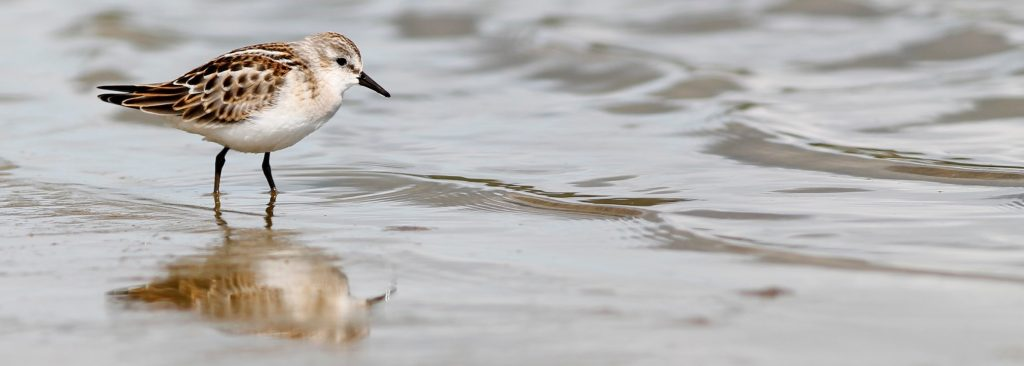Little Stint 3 by Stephan Lorenz 1 1024x366 - Little Stint