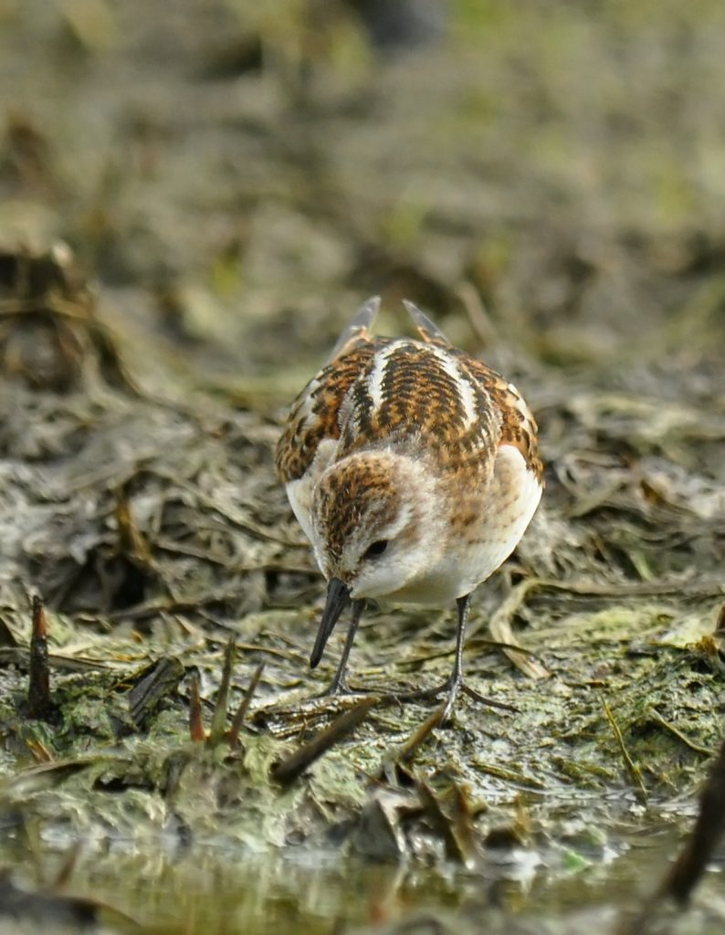 Little Stint 4 by Ryan P. ODonnell 1 794x1024 - Little Stint