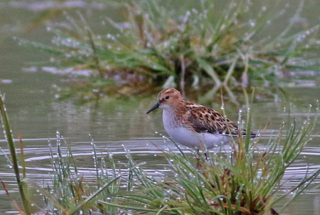 Little Stint by Cameron Cox 1024x690 - Little Stint