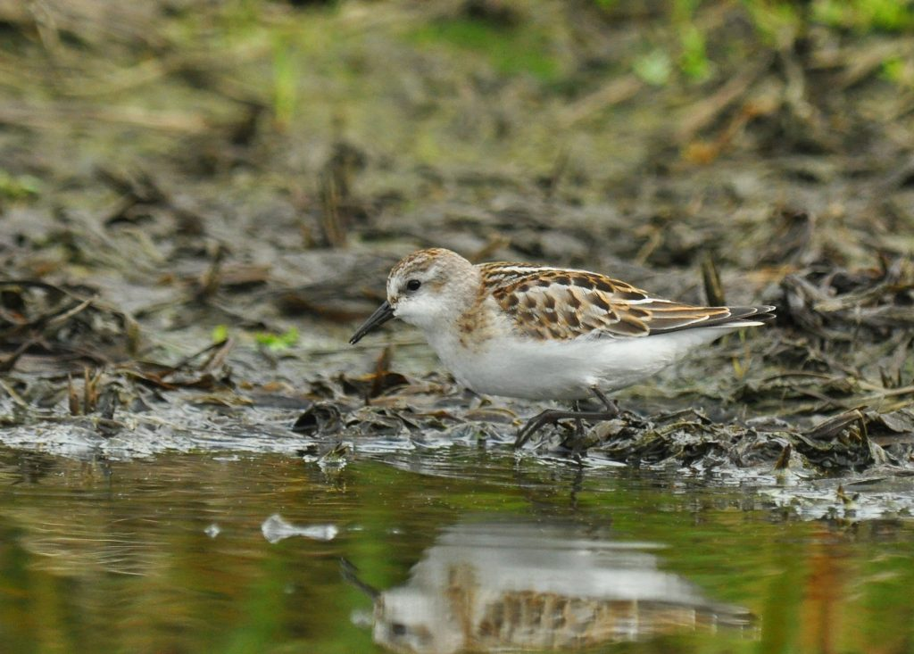Little Stint by Ryan P. ODonnell 1 1024x733 - Little Stint