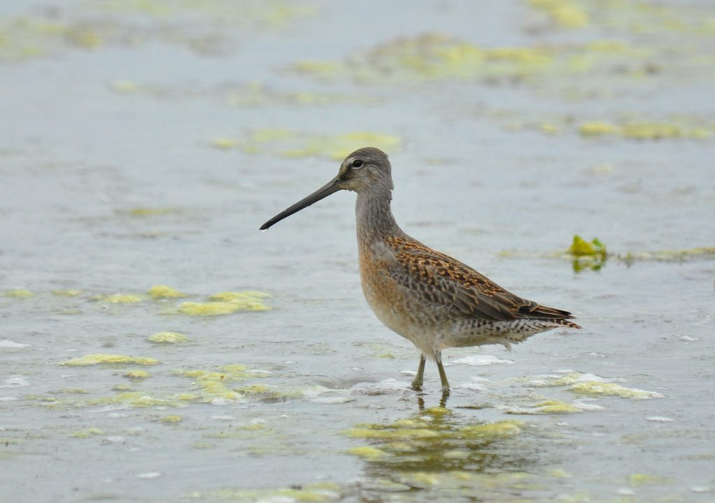Long billed Dowitcher 2 by Ryan P. ODonnell 1024x721 - Long-billed Dowitcher