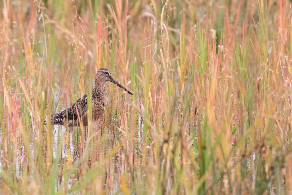 Long billed Dowitcher 2 by Sulli Gibson 1024x683 - Long-billed Dowitcher