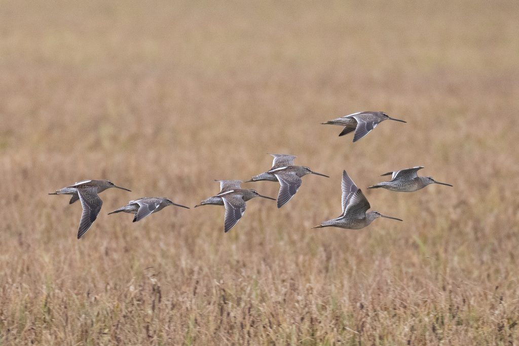 Long billed Dowitcher by Sulli Gibson 1024x683 - Long-billed Dowitcher
