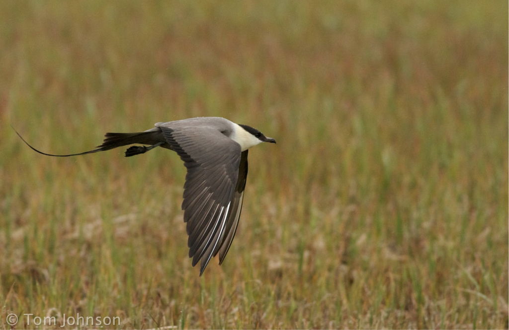 Long tailed Jaeger by Tom Johnson 1024x665 - Long-tailed Jaeger