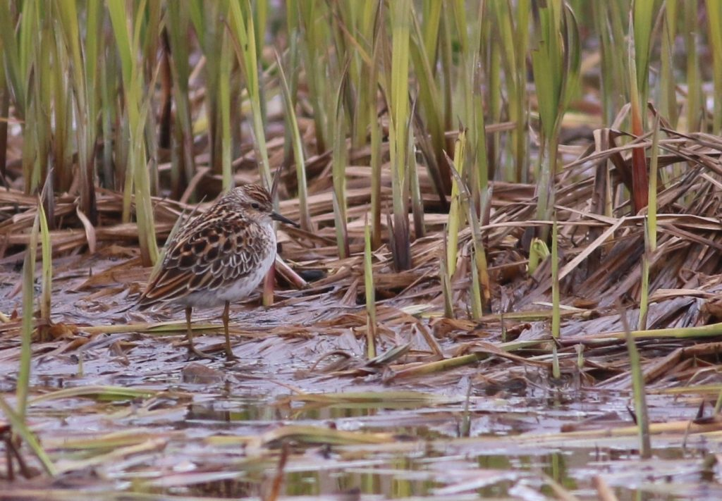 Long toed Stint by Scott Schuette 1024x711 - Long-toed Stint