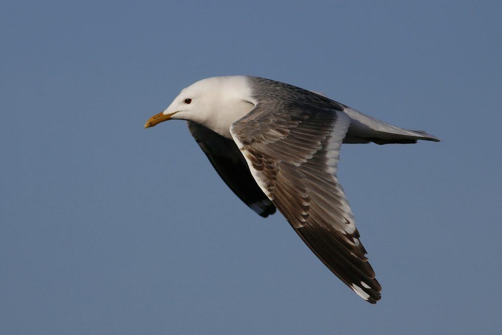 Mew Gull by Phil Chaon 1024x683 - Mew Gull