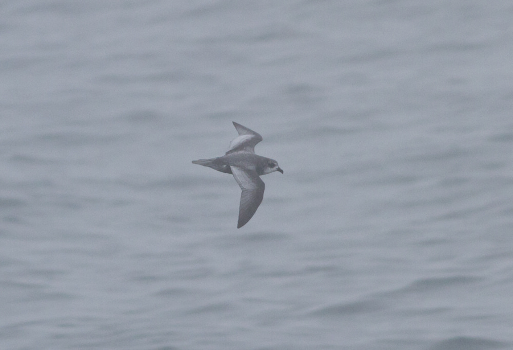 Mottled Petrel 2 by Doug Gochfeld - Mottled Petrel