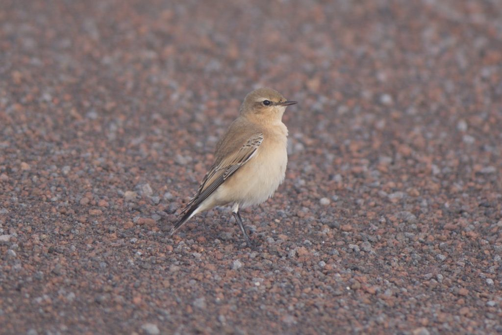 Northern Wheatear by Cory Gregory 1024x683 - Northern Wheatear
