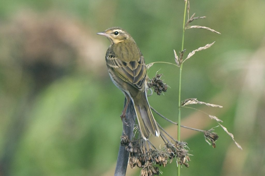 Olive backed Pipit by Cory Gregory 1024x679 - Olive-backed Pipit