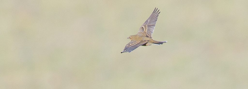 Olive backed Pipit by Doug Gochfeld 1024x369 - Olive-backed Pipit