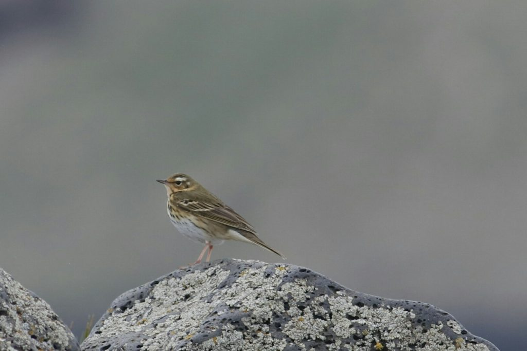Olive backed Pipit by Phil Chaon 1024x683 - Olive-backed Pipit
