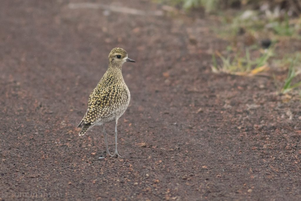 Pacific Golden Plover by Tom Johnson 1024x682 - Pacific Golden-Plover