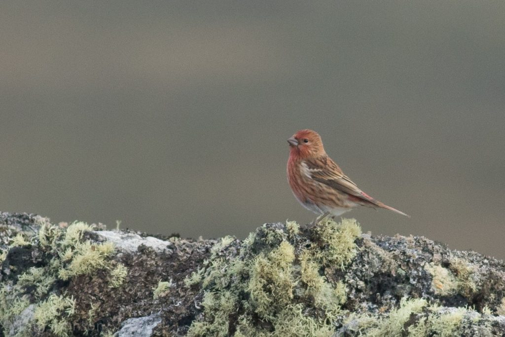 Pallass Rosefinch by Tom Johnson 1024x683 - Pallas's Rosefinch