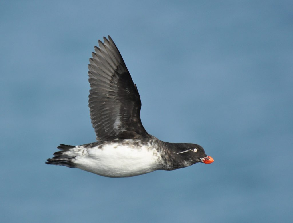 Parakeet Auklet by Ryan P. ODonnell 1024x780 - Parakeet Auklet