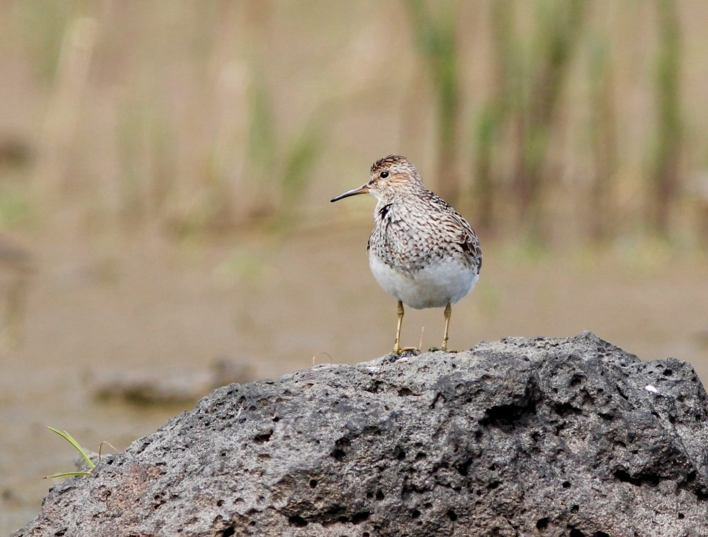 Pectoral Sandpiper by Stephan Lorenz 1024x778 - Pectoral Sandpiper
