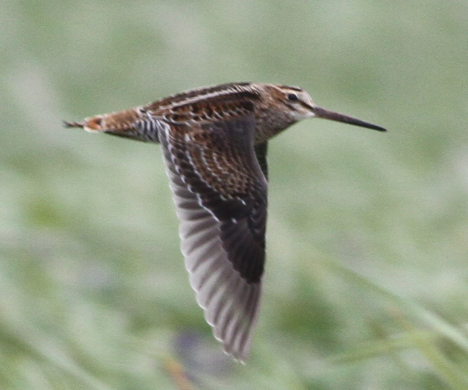 Pin tailed Snipe by Doug Gochfeld - Pin-tailed Snipe