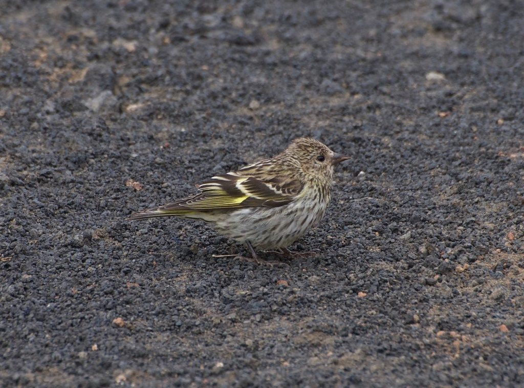 Pine Siskin by Ashley Casey 1024x758 - Pine Siskin