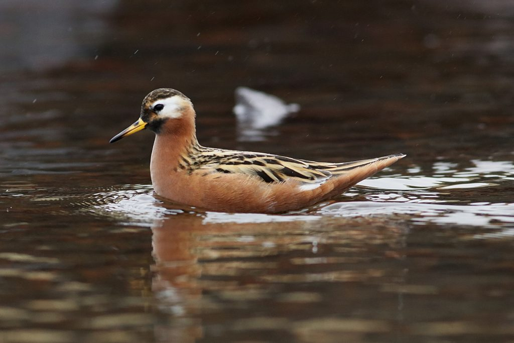 Red Phalarope by Phil Chaon 1024x683 - Red Phalarope