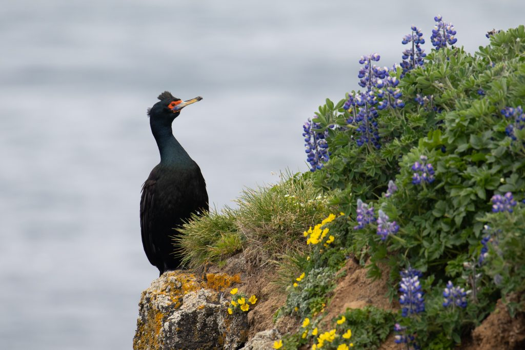 Red faced Cormorant by Sulli Gibson 1024x683 - Red-faced Cormorant
