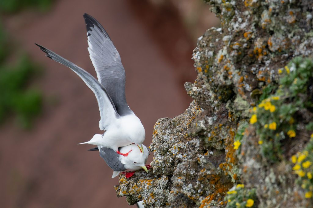 Red legged Kittiwake 2 by Sulli Gibson 1024x683 - Red-legged Kittiwake