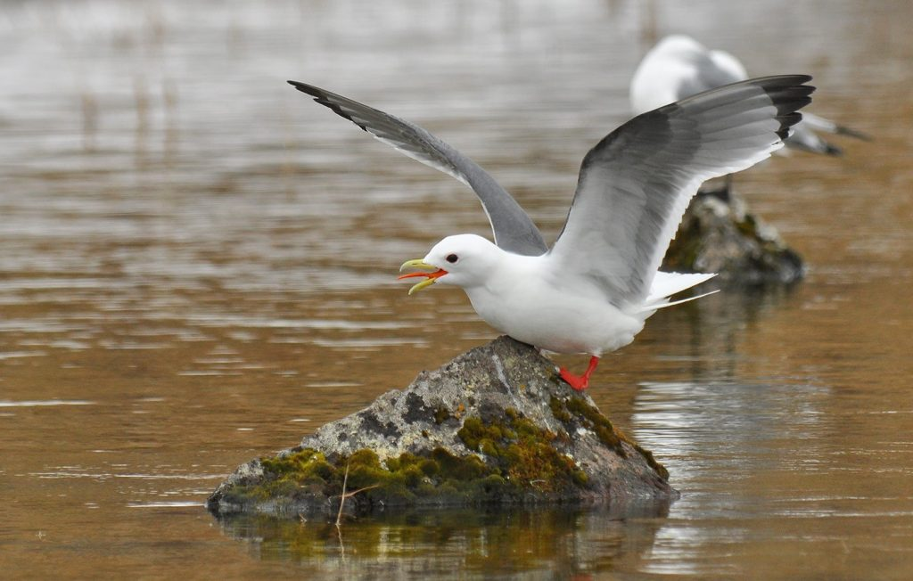 Red legged Kittiwake by Ryan P. ODonnell 1024x652 - Red-legged Kittiwake