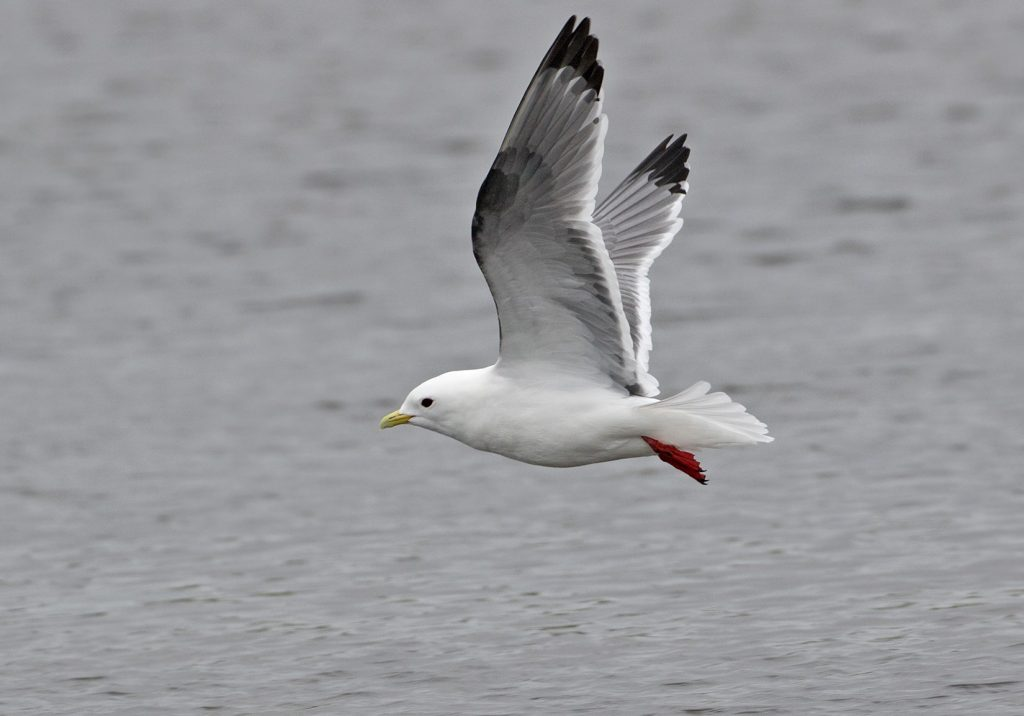 Red legged Kittiwake by Sam Woods 1024x716 - Red-legged Kittiwake