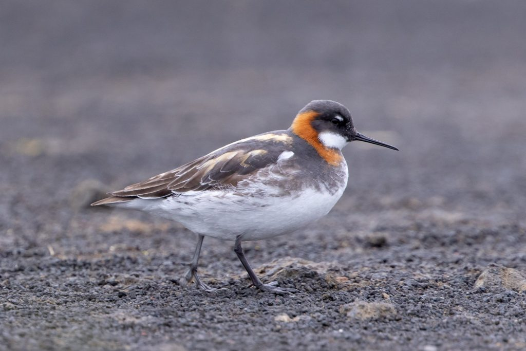 Red necked Phalarope by Cory Gregory 1024x683 - Red-necked Phalarope
