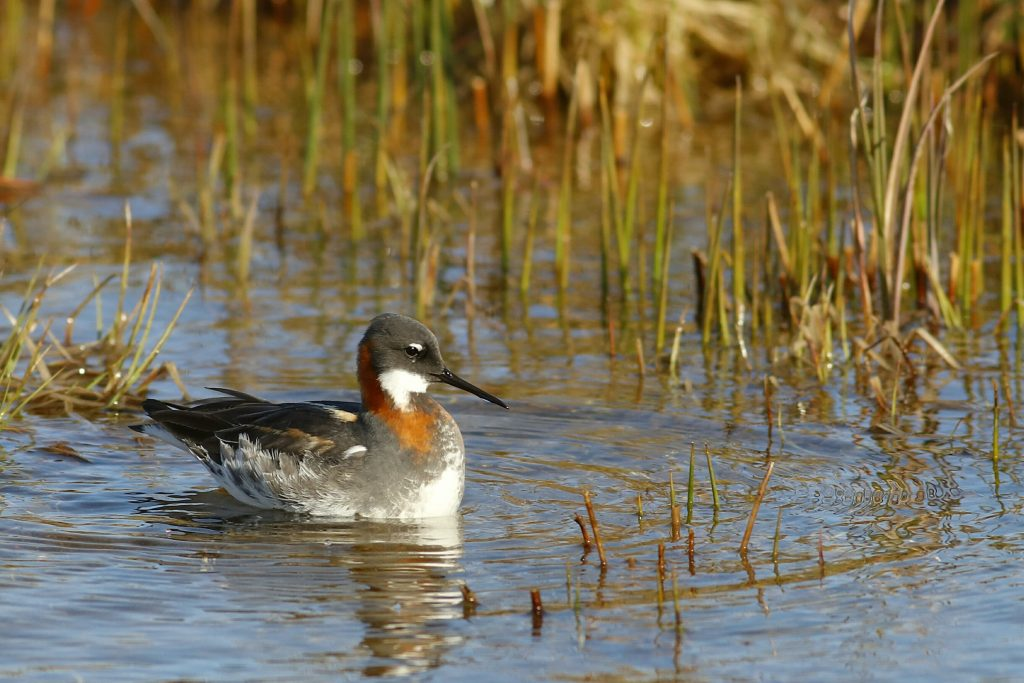 Red necked Phalarope by Phil Chaon 1024x683 - Red-necked Phalarope