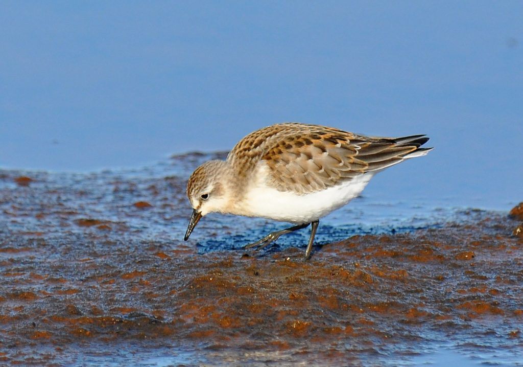 Red necked Stint 2 by Ryan P. ODonnell 1 1024x718 - Red-necked Stint