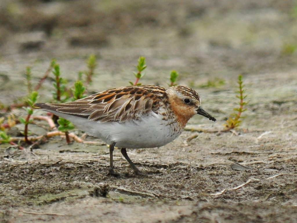Red necked Stint by Ryan P. ODonnell 1024x769 - Red-necked Stint