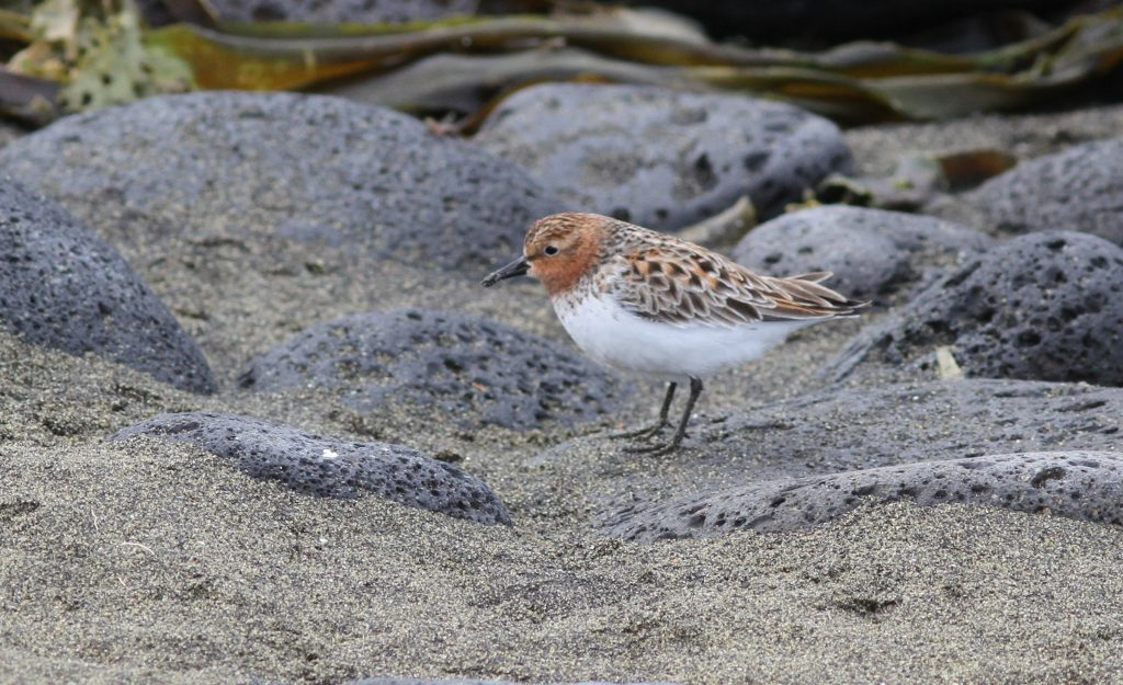 Red necked Stint by Stephan Lorenz 1024x625 - Red-necked Stint