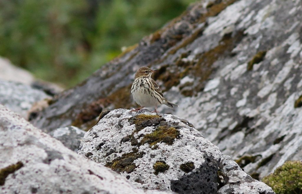 Red throated Pipit by Stephan Lorenz 1024x658 - Red-throated Pipit
